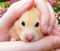 Timid Hamster