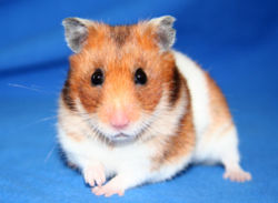 Short-haired Hamster