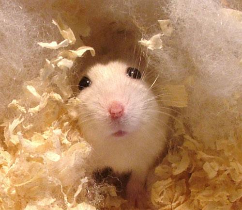 Hamster Rocking and socking it to ya